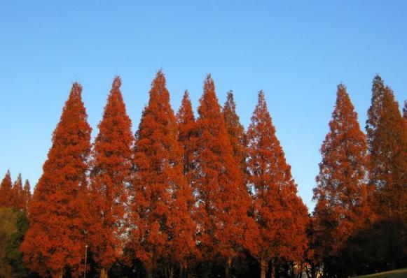 滋賀県・メタセコイア並木の紅葉2016|見ごろ時期・混雑状況等