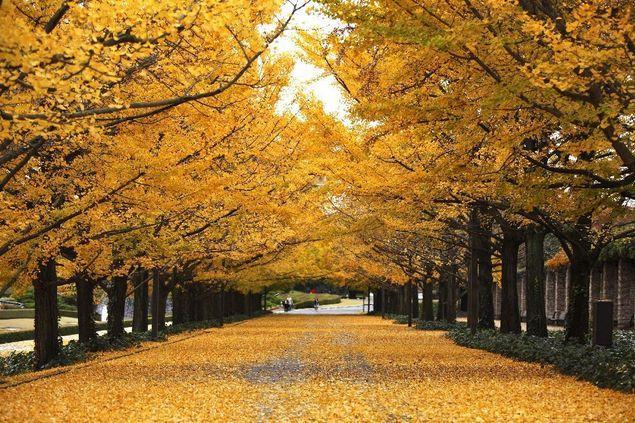 昭和記念公園紅葉の紅葉2017|見ごろ時期・アクセス等まとめ